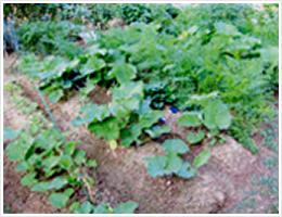 通常の有機肥料を使用